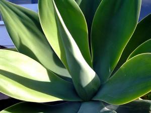 Le sirop d'agave bio, bienfaits et usages